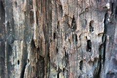 Gammal textur för closeup för trädskäll Trädpeelyttersida Föråldrad mall för baner för ekskäll lantlig skälla den red ut treen Arkivfoton