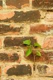 Gammal textur för tegelstenvägg med blomman Arkivbild