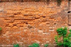Gammal textur för tegelstenvägg med gröna växter Bakgrund Royaltyfri Bild