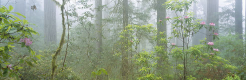 Gammal-tillväxt redwoodträd Fotografering för Bildbyråer