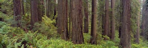 Gammal-tillväxt redwoodträd Arkivbilder