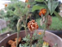 Gammal torkad blomma i stam tillsammans med de nya knopparna Knoppar och gammal blomma på samma skott royaltyfri bild