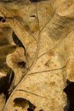 gammal torkad leaf ut royaltyfri bild