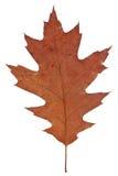 gammal torr leaf Arkivfoto