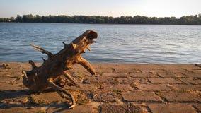 Gammal trädjournal som förbiser Danube River Royaltyfri Bild