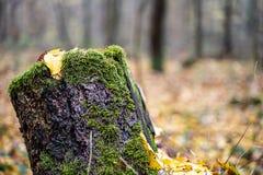 Gammal trädstubbe i mitt av skogen arkivbilder