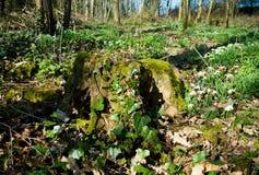 Gammal trädstubbe som är bevuxen med mossa och murgrönan som omges med snödroppar arkivbilder