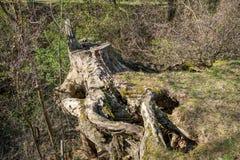 Gammal trädstubbe som täckas med mossa arkivfoto