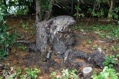 Gammal trädstubbe som täckas med mossa i barrskogen, härligt landskap royaltyfri fotografi