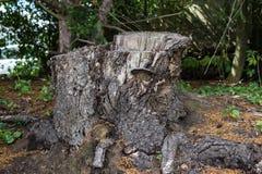 Gammal trädstubbe som täckas med mossa i barrskogen, härligt landskap royaltyfri foto