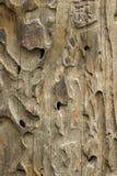 Gammal trätextur med termit Arkivfoton