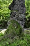 gammal tree Arkivfoto