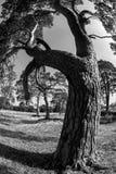 gammal tree Royaltyfri Foto