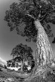 gammal tree Royaltyfri Bild