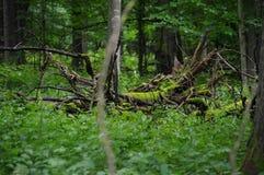 gammal tree Fotografering för Bildbyråer