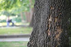 gammal tree Arkivbild