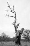 gammal tree Royaltyfria Foton