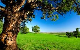 gammal tree för äng arkivfoto