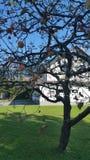 gammal tree för äpple Arkivfoton