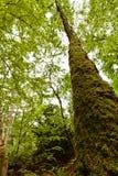 Gammal tree för kick arkivfoto