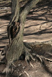 gammal tree för knothole Fotografering för Bildbyråer