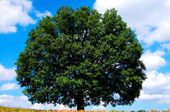 gammal tree för oak Arkivbild