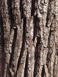 gammal tree för skäll Arkivbild
