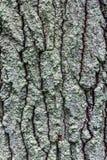 gammal tree för skäll Arkivfoto