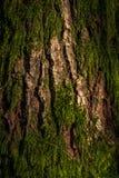 gammal tree för skäll Royaltyfria Bilder