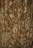 gammal tree för skäll Royaltyfria Foton