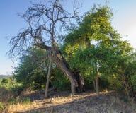 gammal tree för stor oak Arkivbilder