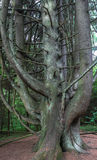gammal tree mycket Royaltyfri Foto