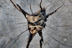 Gammal treestubbetextur royaltyfri fotografi