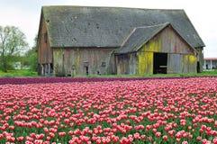 gammal tulpan för ladugårdfält Arkivbild