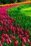 Gammal tulpanfältadnd maler i netherland Royaltyfri Bild