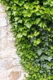 gammal vägg för murgröna Arkivfoton