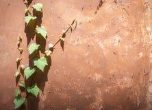 gammal vägg för murgröna Royaltyfri Bild