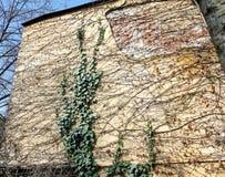 gammal vägg för murgröna Royaltyfria Bilder