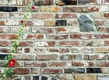 Gammal vägg för röd tegelsten med granitstenar och den blommande malvan, vint Arkivfoto