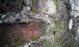 Gammal vägg för röd tegelsten med svampen på den arkivbild