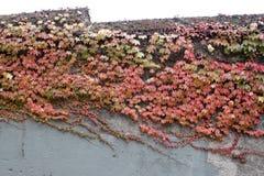 Gammal vägg med den gröna rankan och röda sidor arkivbilder