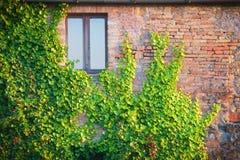 Gammal vägg med klättringväxter Arkivbilder