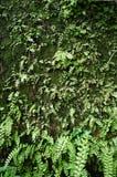 Gammal väggtegelsten med mossa och ormbunken Fotografering för Bildbyråer