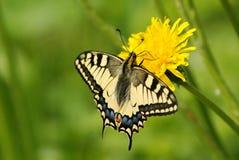 Gammal värld Swallowtail Arkivfoton