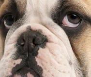 gammal valp för 4 månader för bulldogg täta engelska upp Arkivbilder
