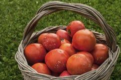 Gammal vide- korg med nya röda tomater fotografering för bildbyråer