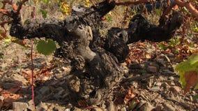 gammal vine för druva Fotografering för Bildbyråer