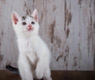 Gammal vit kattunge för få veckor på vit träbakgrund Arkivbild