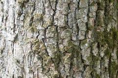 Gammal Wood modell för trädtexturbakgrund Royaltyfria Bilder