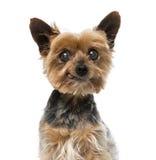Gammal yorkshire terrier (13 gamla år) Royaltyfri Bild